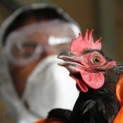An Indian health worker culls a rooster at a government poultry farm in Lembucharra following a potential threat of the H5 strain of the Avian influenza virus. -- Culling began after a fresh outbreak of a potential threat of the H5 strain of the Avian influenza virus on a poultry farm at the Indian Council Research Centre at Lembucharra, about 45km from Agartala. 27th January 2012